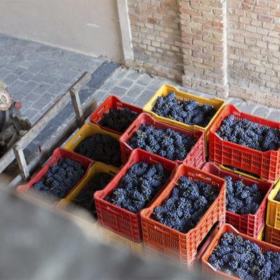 Raccolta delle uve in cassetta