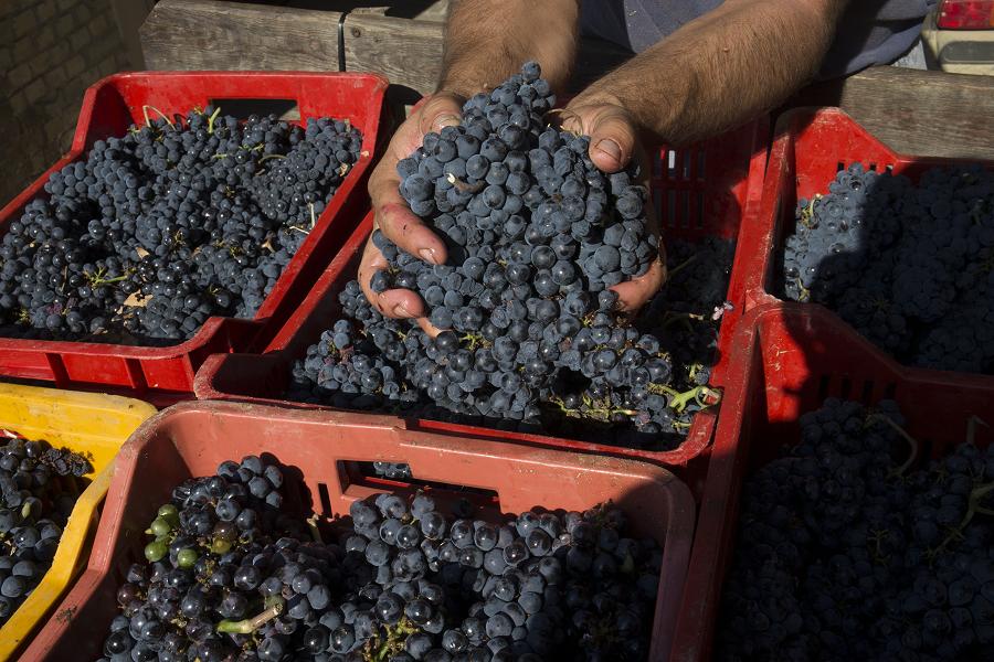 La raccolta in cassetta delle nostre uve