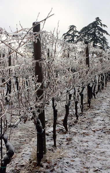 Frozen vines