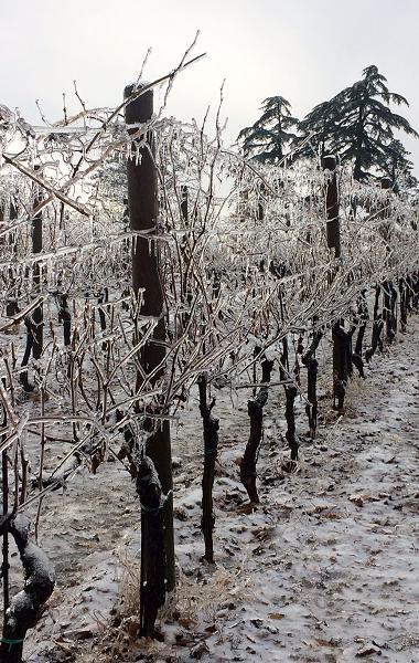 Frozen vines