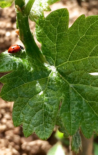 Ladybird in our vineyards